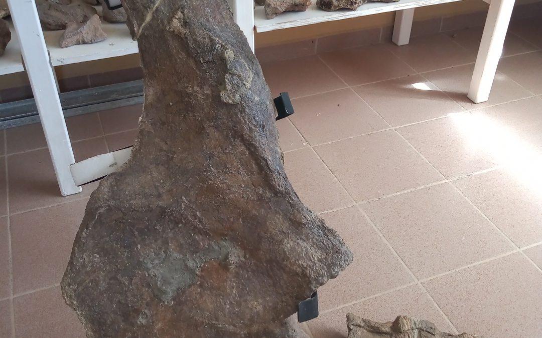 La Municipalidad recibió, material paleontológico